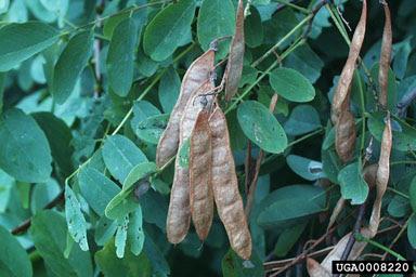 trees of america algarrobo negro Robinia pseudoacacia