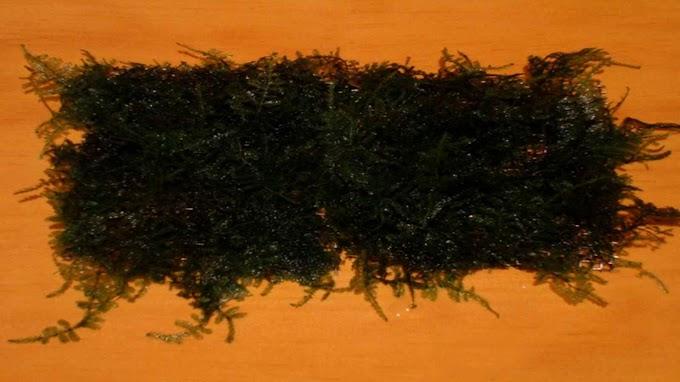 Vesicularia var. Anchor Moss