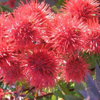 castor blossoms, Ricinus communis