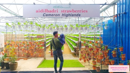 ladang strawberi cameron highlands