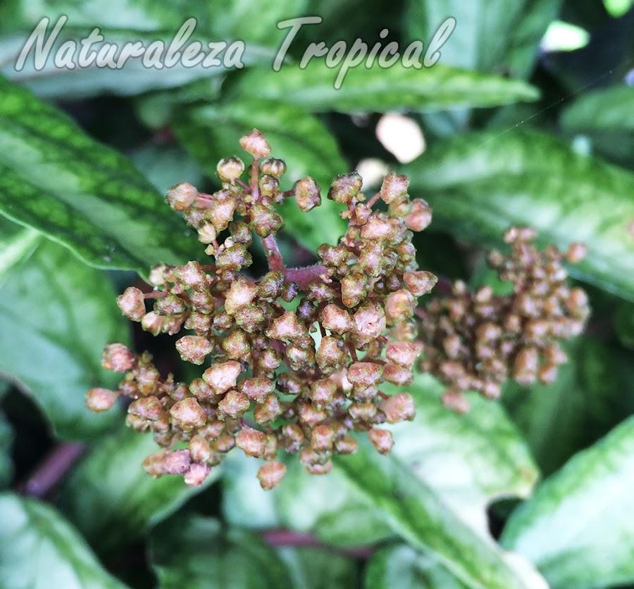 Detalles de la inflorescencia de la planta Pellionia repens