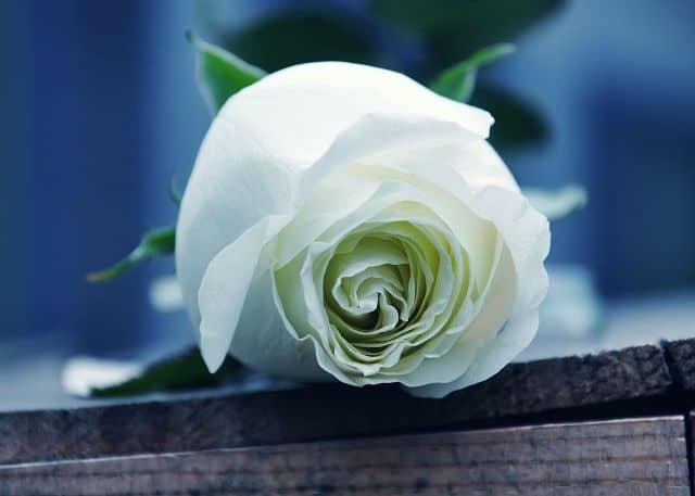 hoa hồng trắng tượng trưng cho điều gì