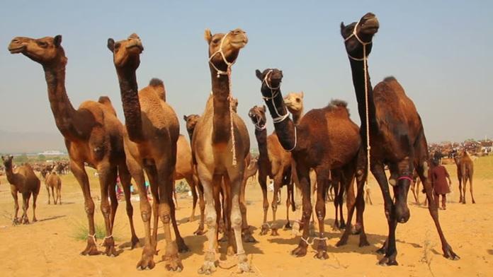 Il diciottesimo cammello - Buddha