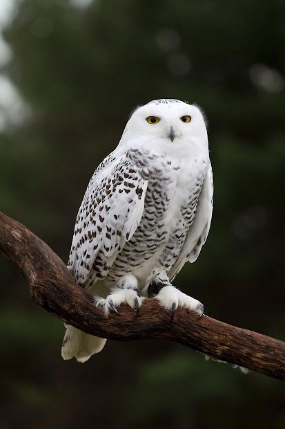 Ann Brokelman Harris Hawk Snowy Owl - Captive Birds