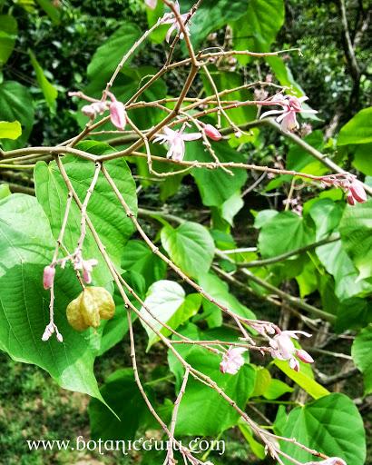 Kleinhovia hospita, Guest Tree flowers and fruit