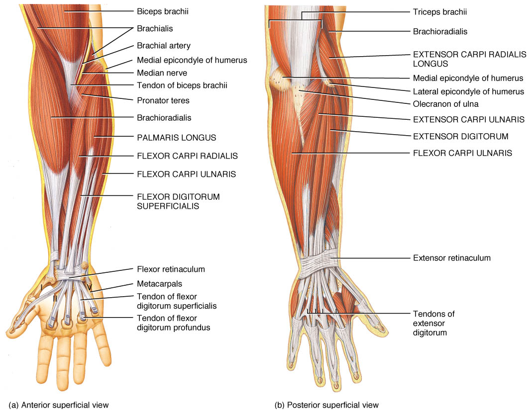Anatomy Of The Hand Measures Of Hand Function
