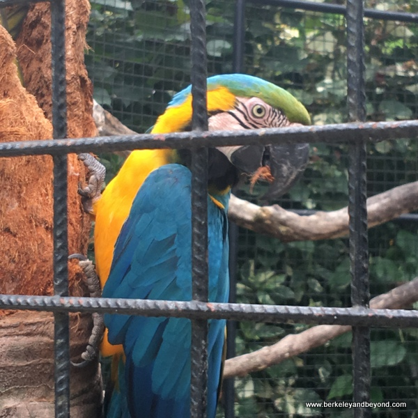 blue macaw at Emperor Valley Zoo in Trinidad
