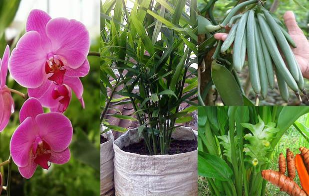 Contoh Tumbuhan Monokotil beserta Nama Latinnya