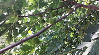 Street, Grown, Figs, Yambol,