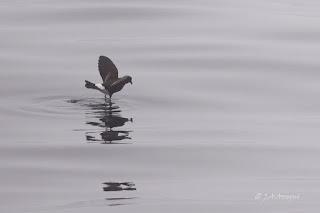 Paíño de Wilson, Oceanites oceanicus, Wilson's Storm Petrel