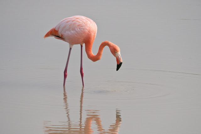 flamingo galapagos