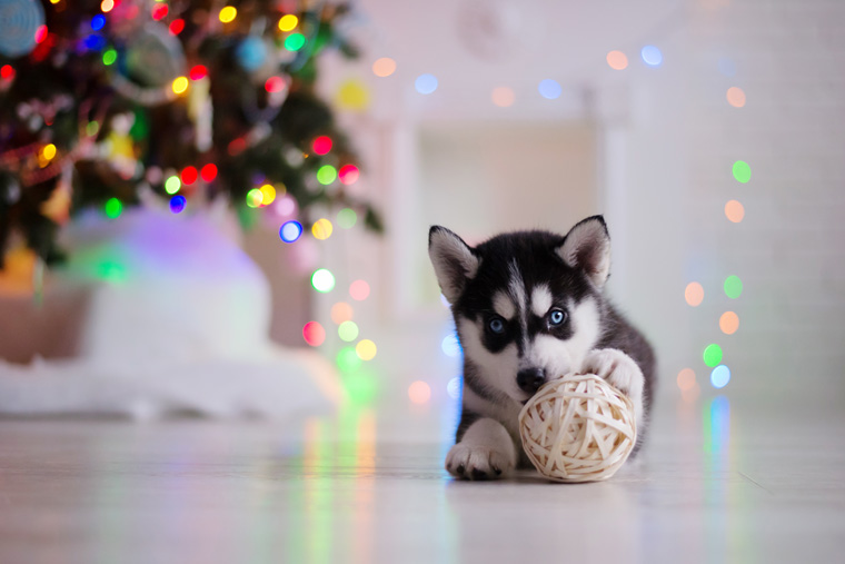 Siberian Husky puppy plays with a toy by the Christmas tree