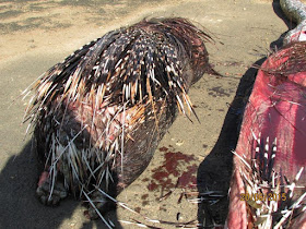 Porcupine dies after rock python eats it in whole