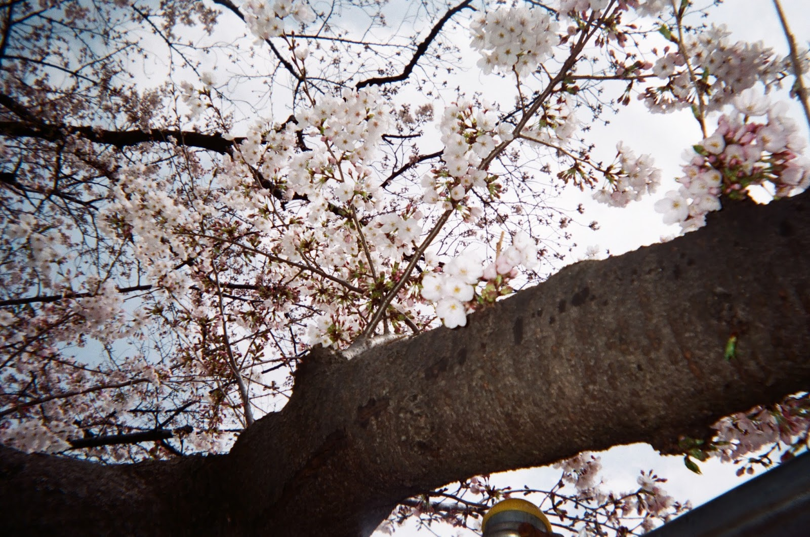 Tokyo in Disposable Camera Ueno Park Sakura | www.bigdreamerblog.com