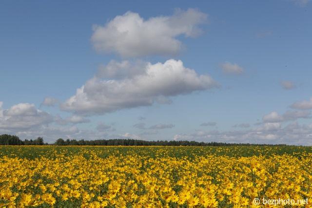 поле топинамбуров