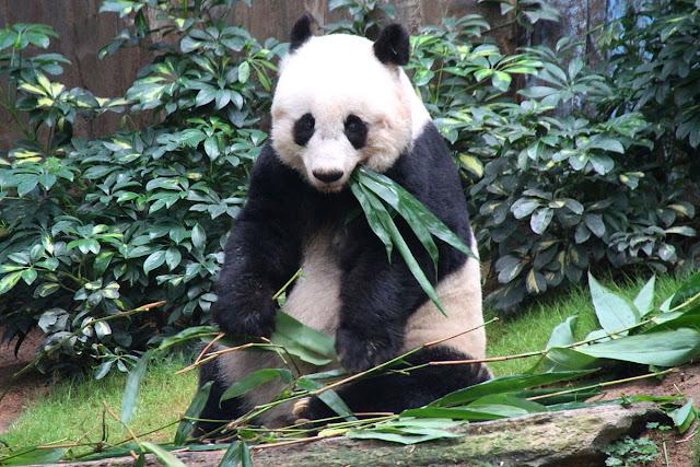 Telinga Panda raksasa bergerak-gerak saat mereka mengunyah.