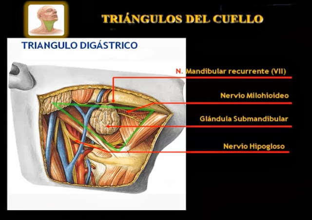 Triángulo digástrico del cuello vista lateral derecha e inferior