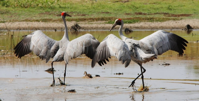 Brolga facts, information and pictures 1