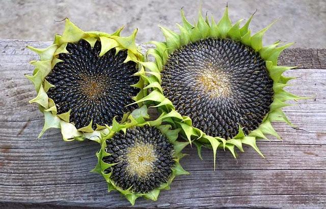 20 Fakta Menarik Bunga Matahari Yang Seru