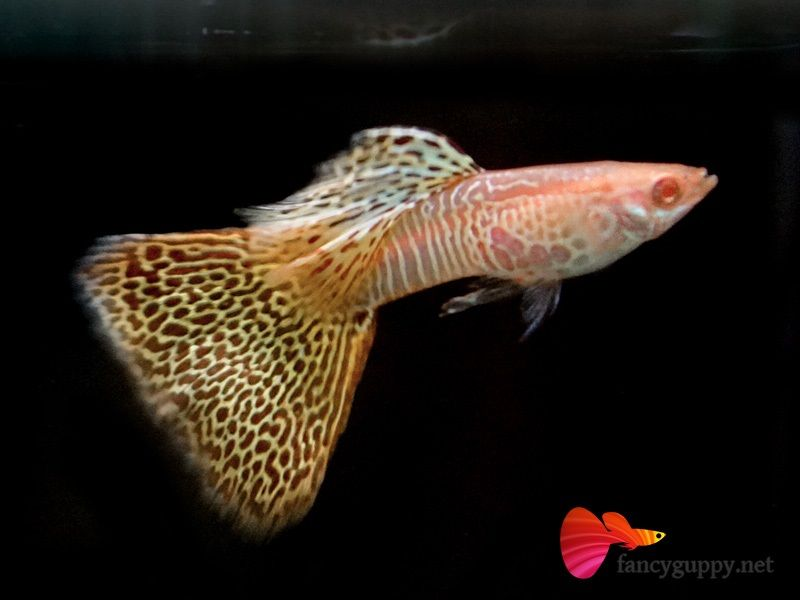 Gambar Jenis Ikan Guppy Import - Ikan Guppy Import Yellow Cobra / YC