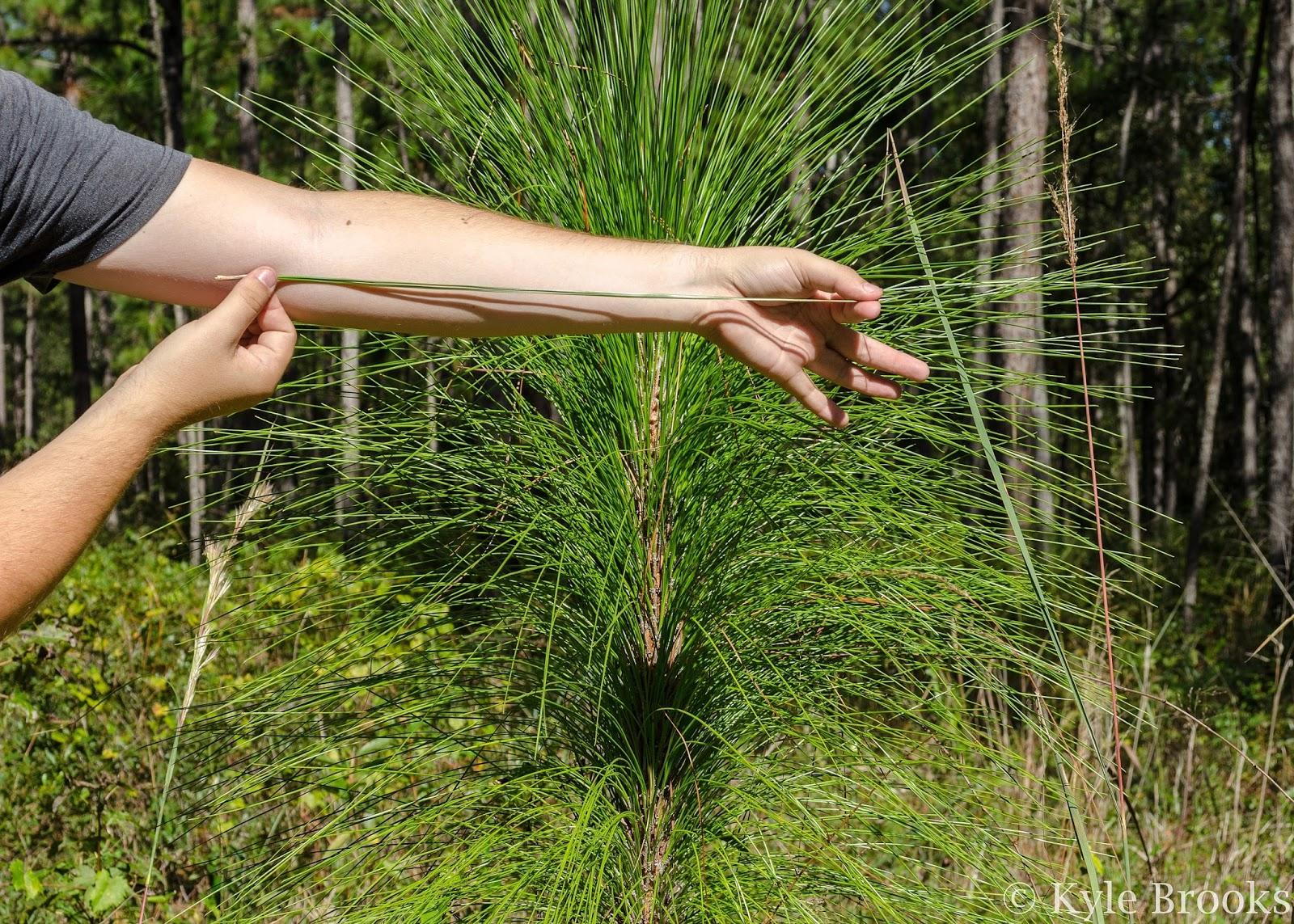 Longleaf Pine needle length