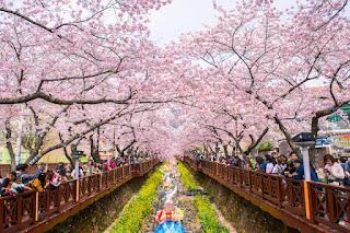 Paket Tour Korea Cherry Blossom