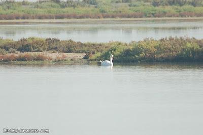 Cisne vulgar (Cygnus olor)