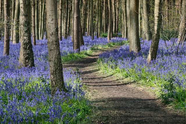 Bluebells along a woodland path in Warwickshire By Martyn Ferry Photography