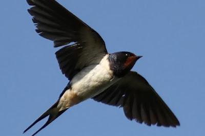 Sifat dan Karakter Burung Walet