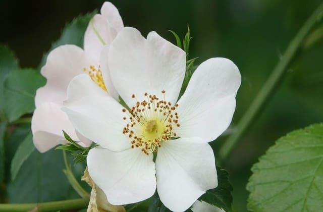 gambar mawar wild rose cantik