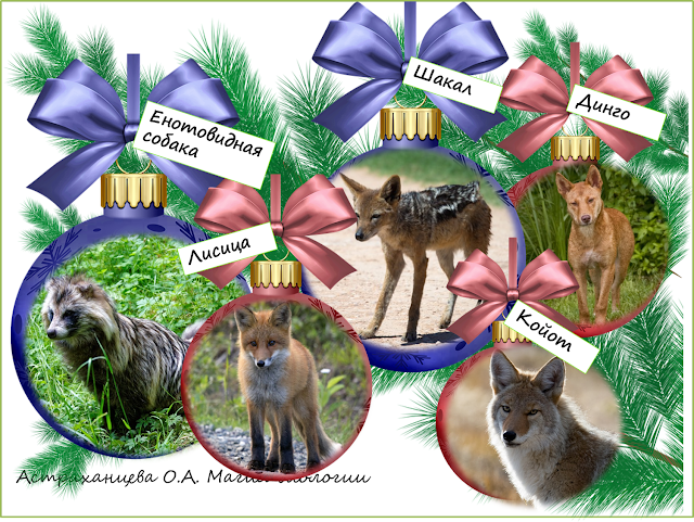 енотовидная-собака-динго-шакал-лиса-койот-год-собаки