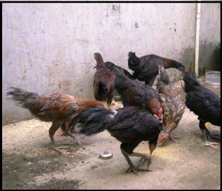Cara Berternak Ayam Kampung Simpel Dan Menguntungkan