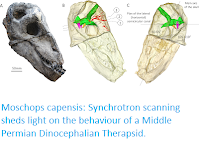 http://sciencythoughts.blogspot.co.uk/2017/08/moschops-capensis-synchrotron-scanning.html