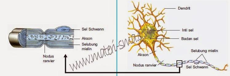 Struktur neuron