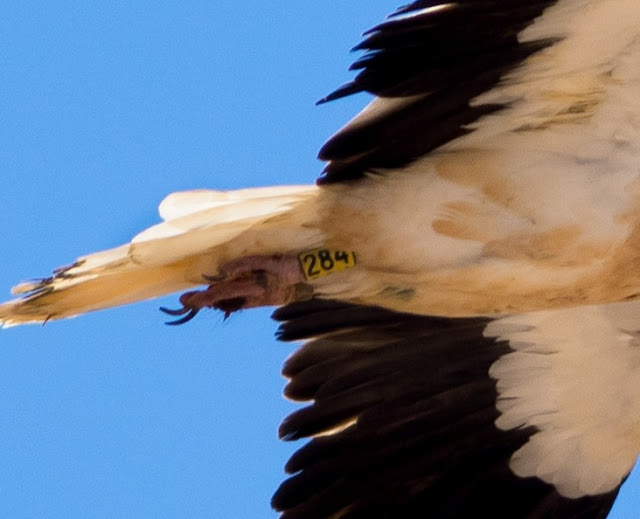 Egyptian Vulture - Embalse de los Molinos, Fuerteventura