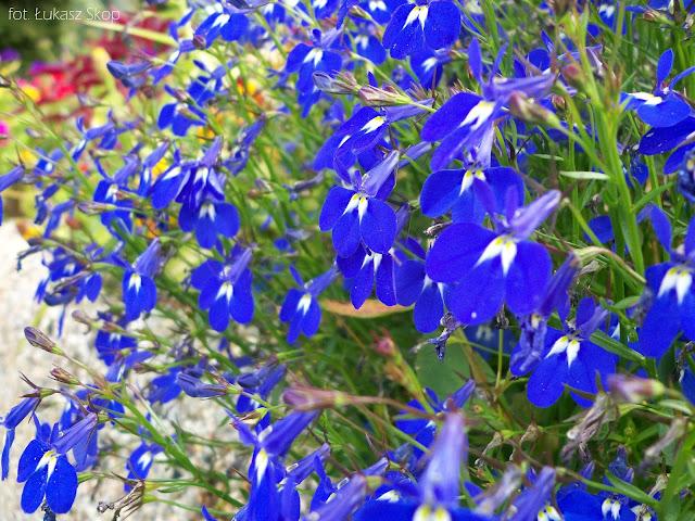 niebieska lobelia