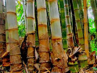 jenis-bambu-petung.jpg
