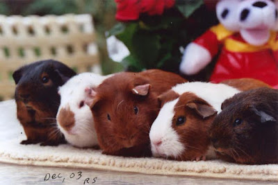 american short hair guinea pigs in different colours