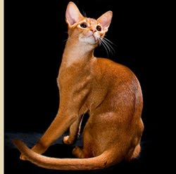 Encyclopedia Of Cats Breed Red Abyssinian Cat Sorrel Or