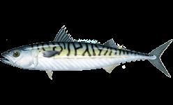 ماذا تعرف عن سمك الاسقمرى  Mackerel