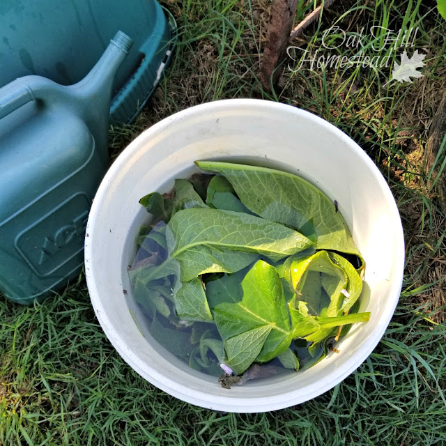 How to make comfrey tea for your garden.