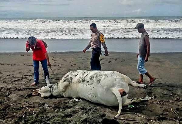 Bangkai Sapi Terdampar di Pantai Ambal