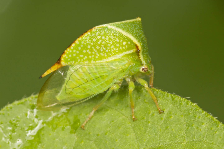 The Buffalo Treehopper ! Garden Bible