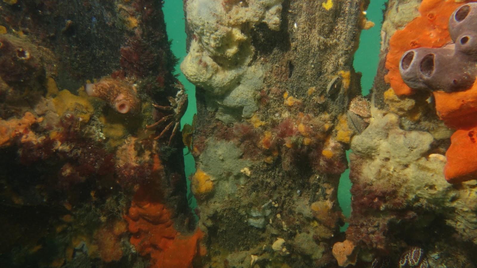 Diving: Blairgowrie Pier