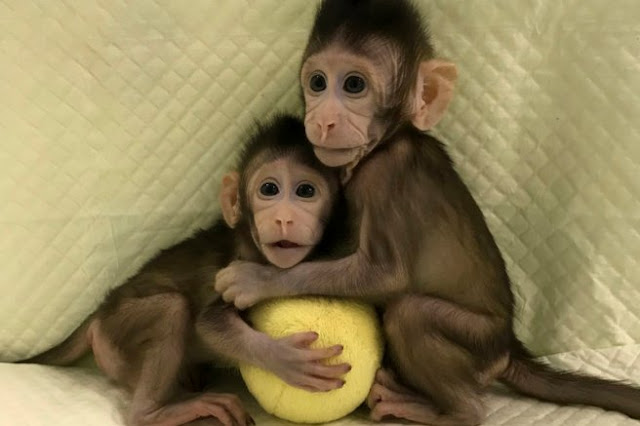 Παγκόσμια ανησυχία για την πρώτη επιτυχημένη κλωνοποίηση πιθήκων! Έρχεται η σειρά των ανθρώπων; (ΒΙΝΤΕΟ)