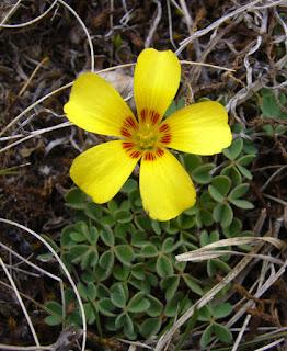macachin amarillo