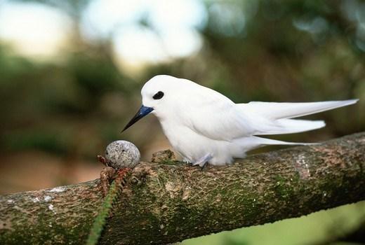 Chim nhàn trắng có thói quen đẻ trứng trên các nhánh cây thay vì đẻ trứng vào tổ như những loài chim khác
