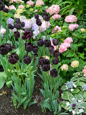 Florist hydrangeas and Queen of the Night black Tulips at the Centennial Park Conservatory Easter Flower Show by garden muses-not another Toronto gardening blog