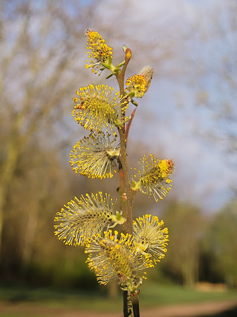 Close up of a single branch of Goat Willow with catkins