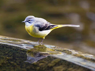 Grey Wagtail- Coorg, Western Ghats, India, Asia